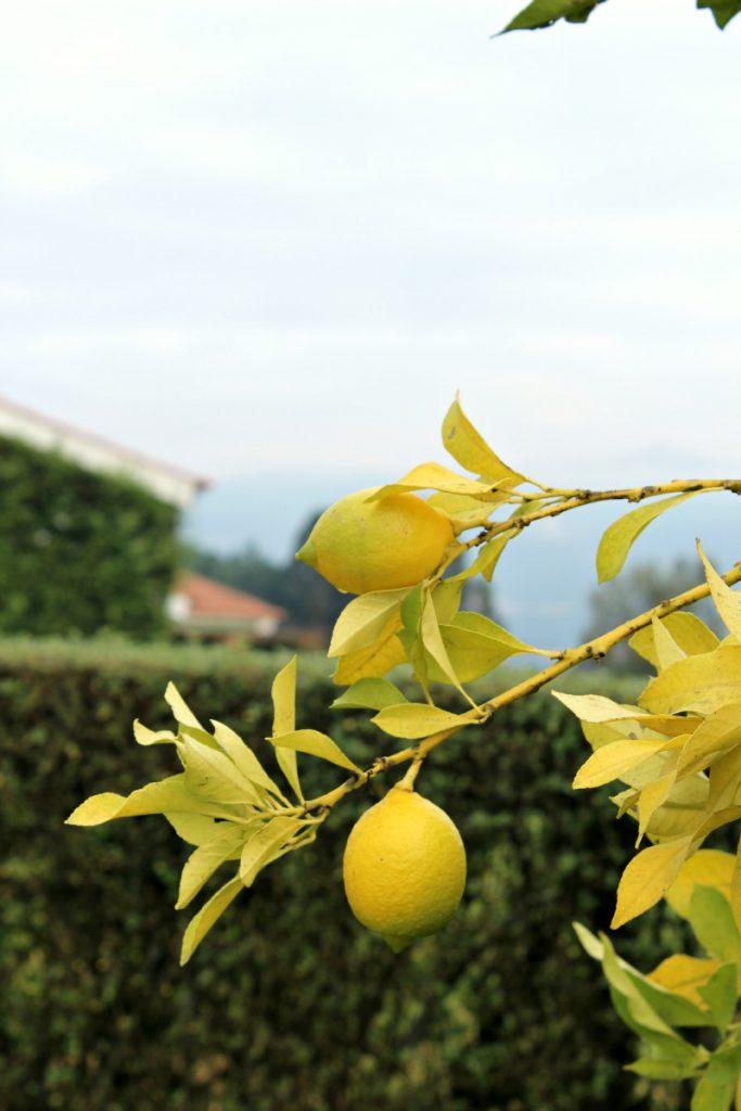 Quinta-da-Raza-lemons